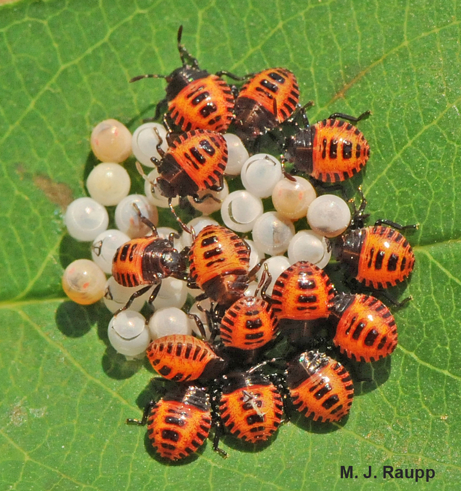 The pearly eggs and brightly colored newly hatched BMSB nymphs are not difficult to identify.