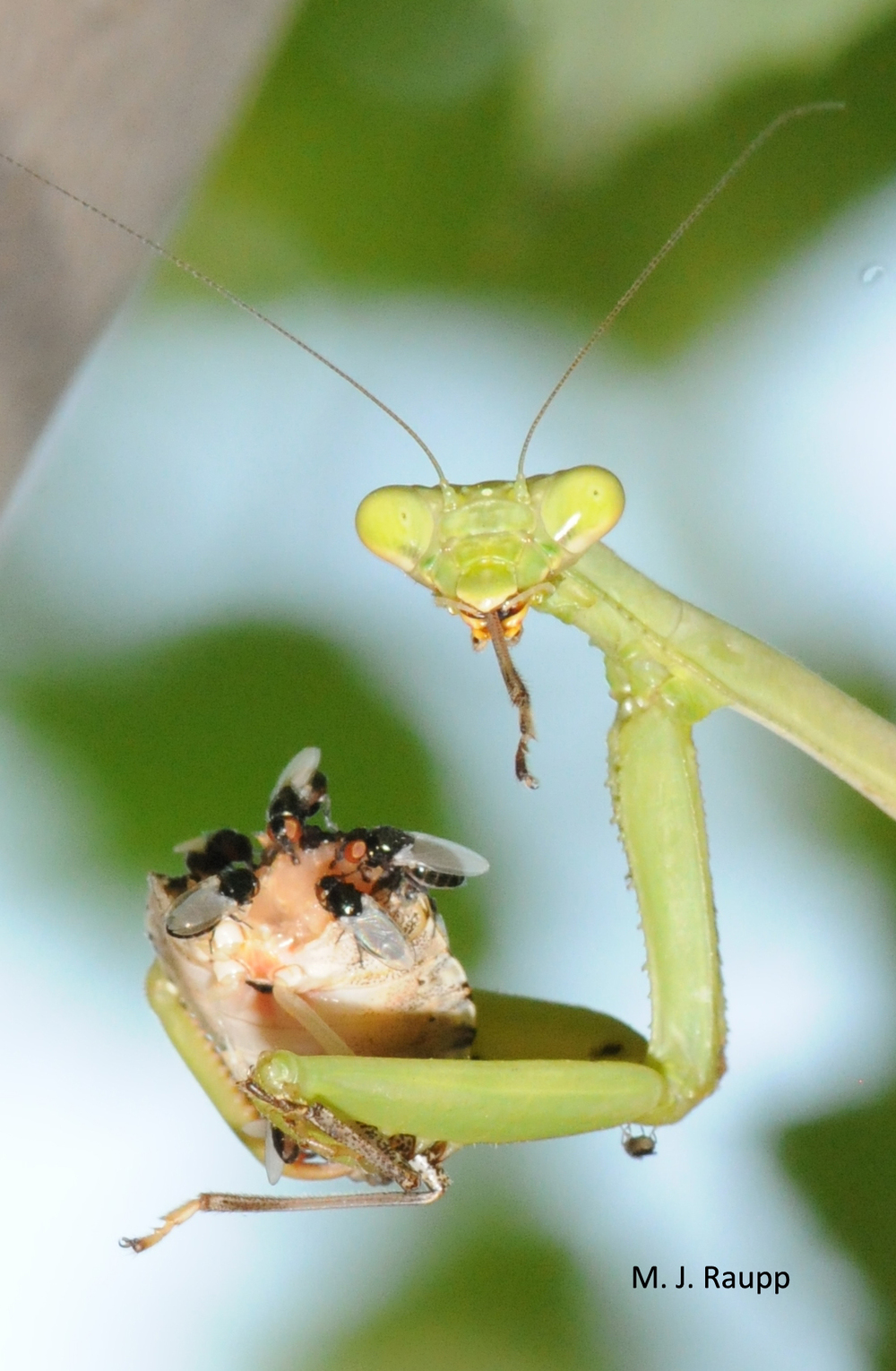 One farmer reported an outbreak of praying mantids in his stink bug-infested field. Let's hope this lass left behind dozens of hungry youngsters with wicked appetites for stink bugs!