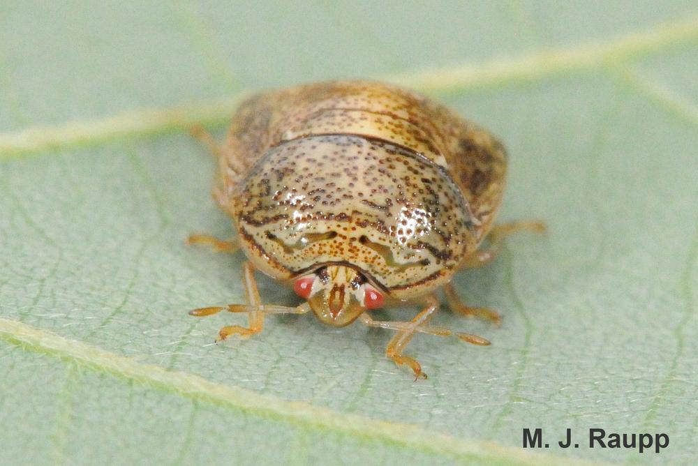 Adult kudzu bugs are s...