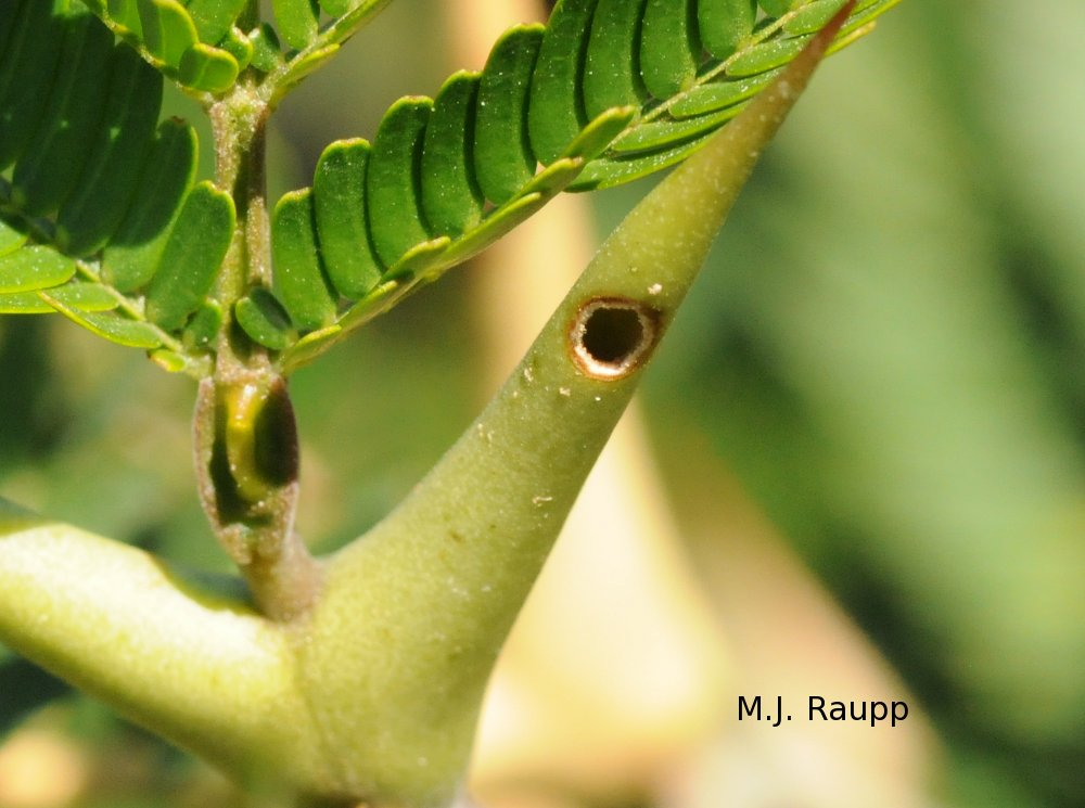 Small holes in the thorn allow ants to enter and exit.