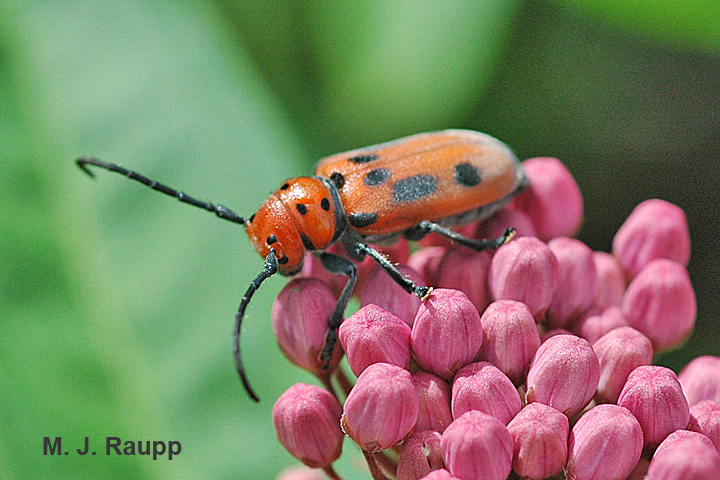 Red milkweed beetles adorn milkweed florets in summer.