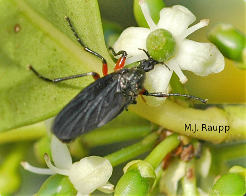 Lovebugs and other bibionid flies like this one commonly feed on nectar.