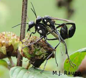A mating pair of digger wasps, Eremnophila aureonotata, rest on a seed head.