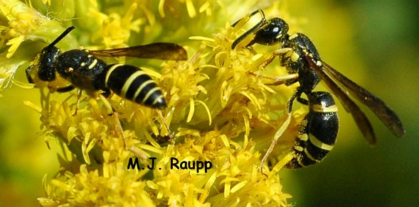 Potter wasps eat nectar and pollen when not throwing pots.