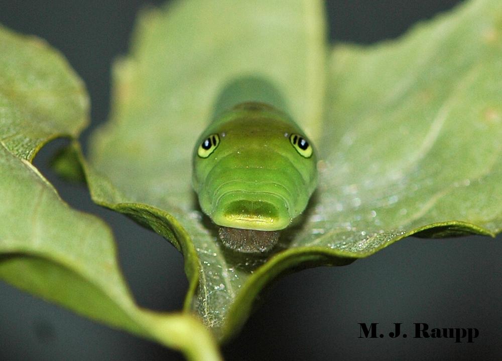 Large creepy eyespots of older swallowtail caterpillars frighten would-be predators.