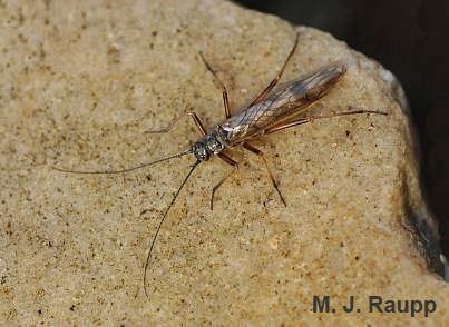 Winter stoneflies are active even on chilly days in January.