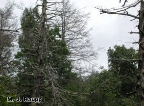 The hemlock woolly adelgid has killed thousands of eastern hemlocks such as these in Shenandoah National Park.