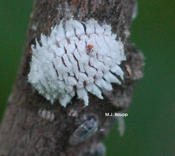 A white, waxy coat may help this ladybug larva survive attacks from would-be predators.