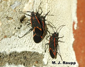 Boxelder bugs bask on bricks before entering the home.