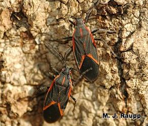 Two boxelder bugs prepare to leave a boxelder tree to find an overwintering spot.