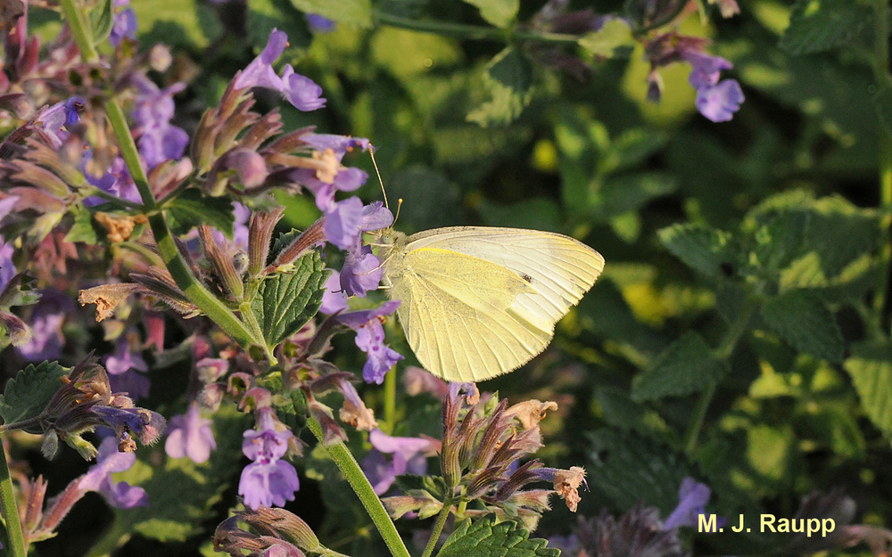Cabbage whites flourish from spring to fall, flitting about vegetable gardens.