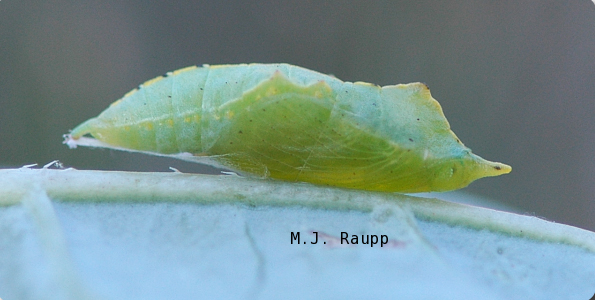 The chrysalis provides winter refuge for the cabbageworm, which emerges as a butterfly in spring.