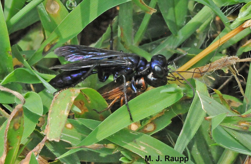 Shortly after wading through the grass, this steel-blue cricket hunter disappeared down a cicada killer hole.