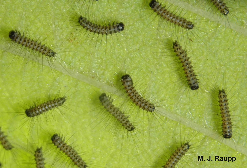 Before web construction begins, newly hatched fall webworm caterpillars marshal on the underside of a leaf.