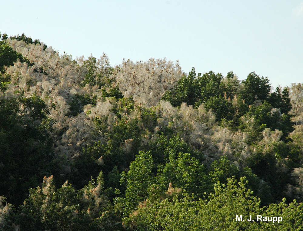 Webs of fall webworms engulf entire treetops in many locations this year.
