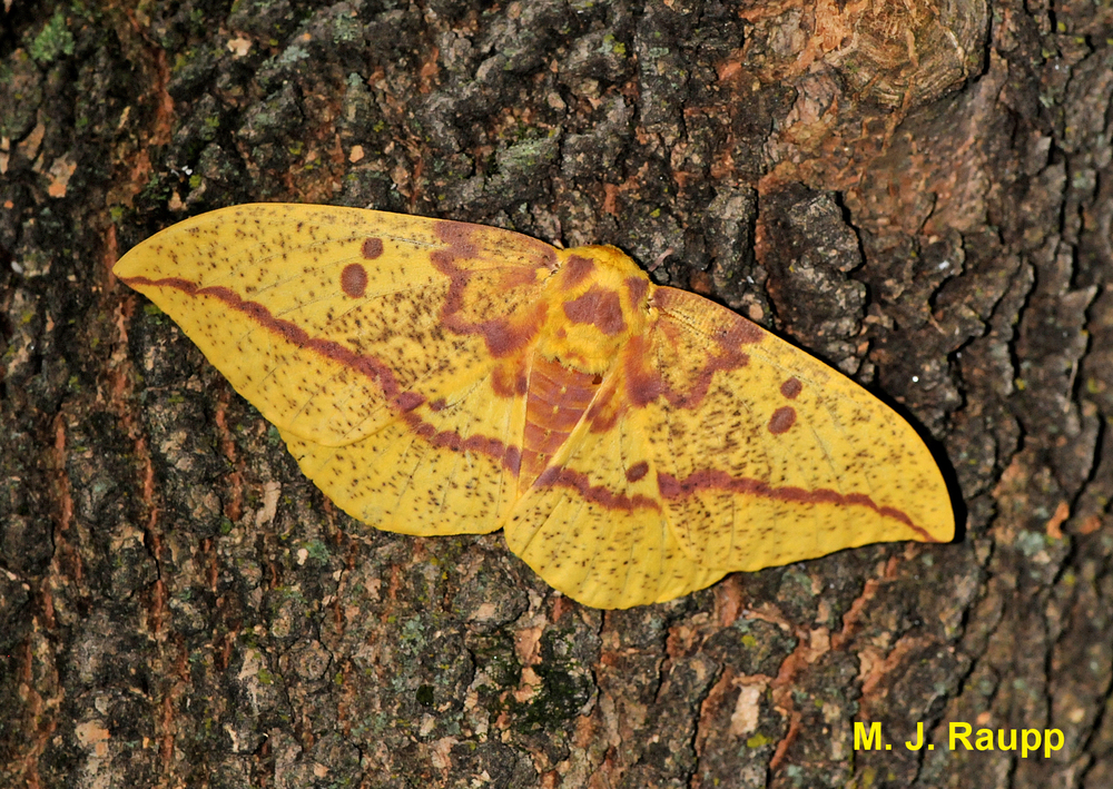 Gorgeous Imperial moths can sometimes be spotted on tree trunks, where they await their mate.