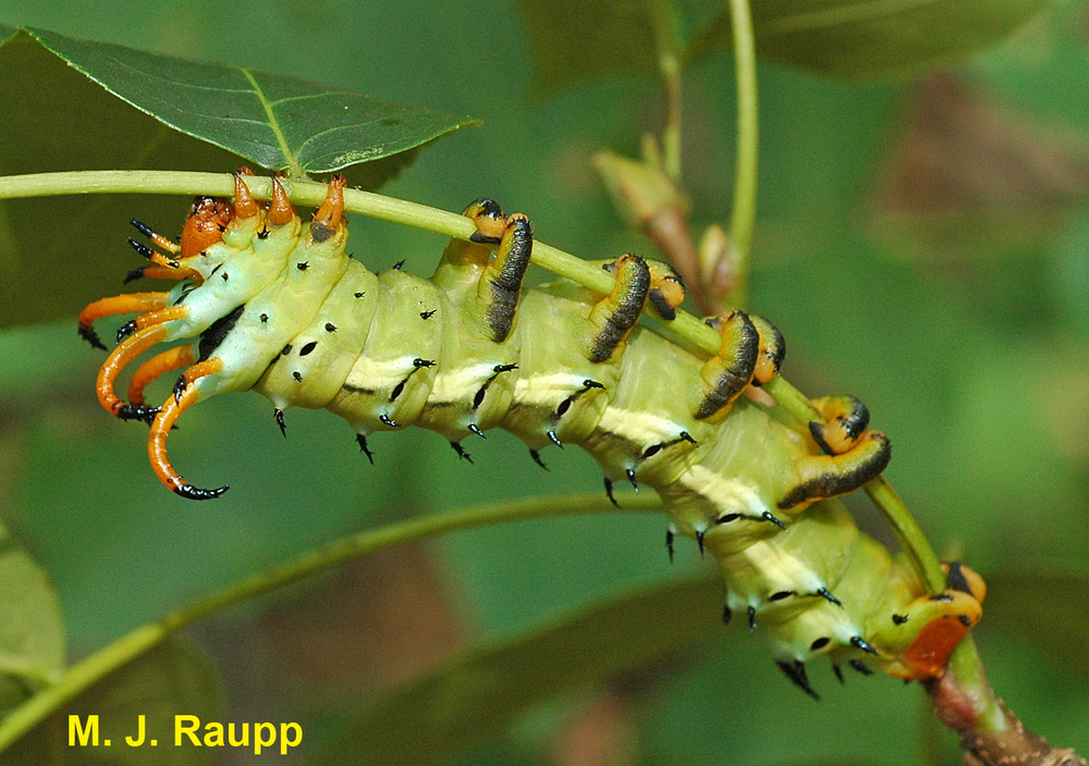 Adorned with horns and almost six inches in length, the Hickory Horned Devil is harmless unless you are a hickory tree.