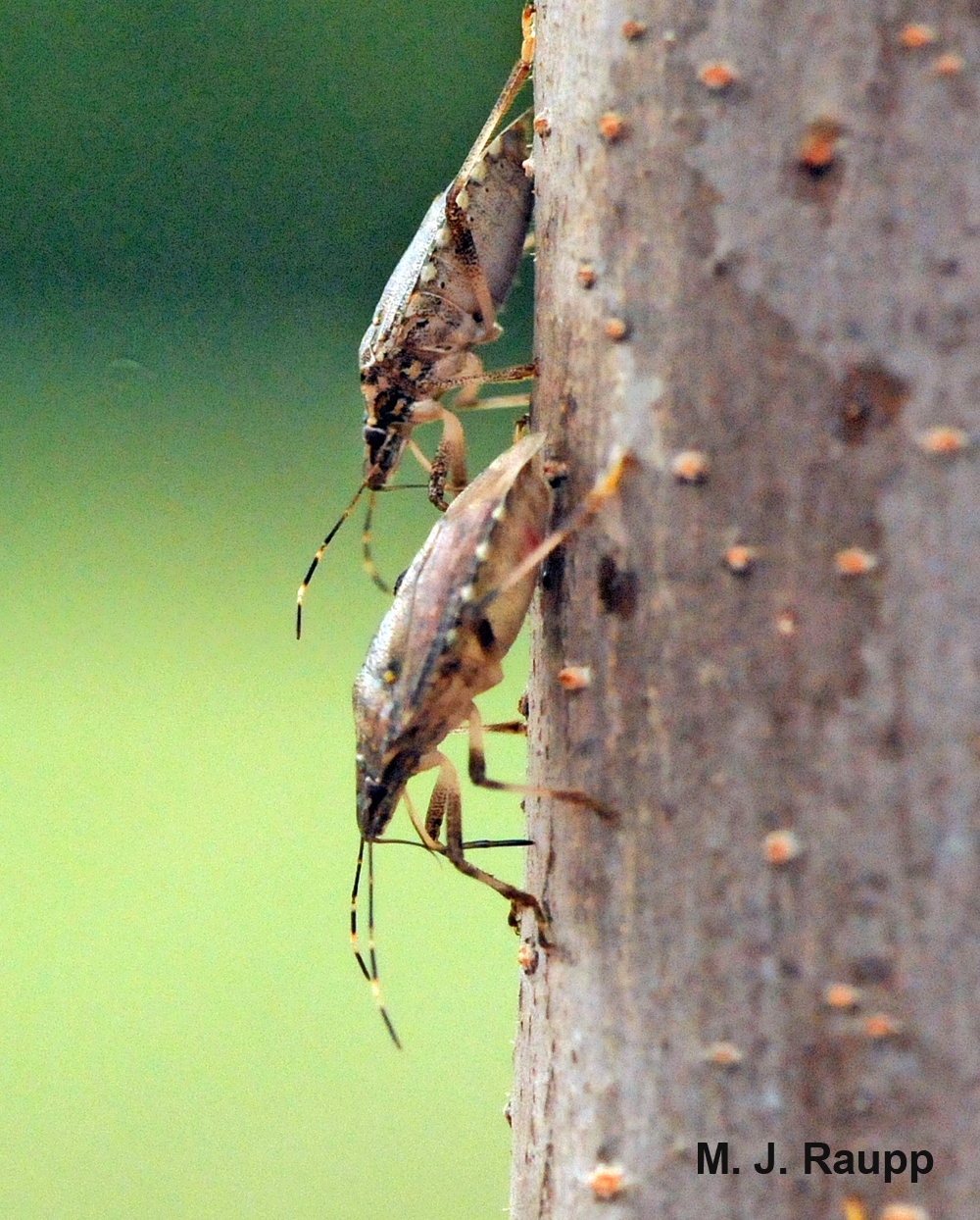 Bark feeding is a strange behavior brown marmorated stink bugs employ in autumn.
