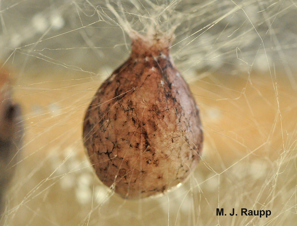 How many spiderlings will emerge from an egg case the size of a Ping-Pong ball?