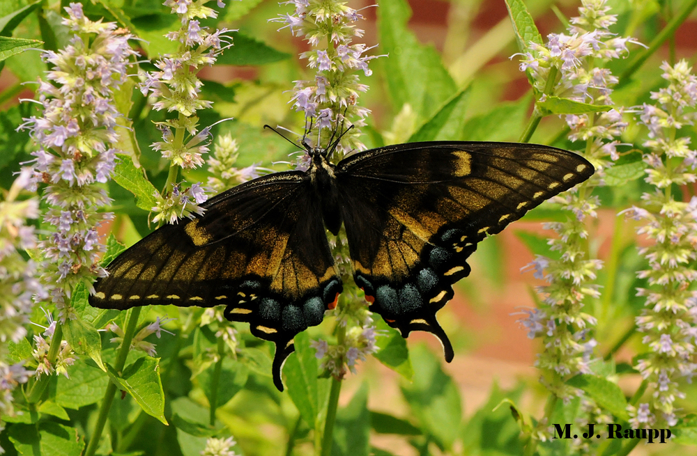 Black tiger swallowtail