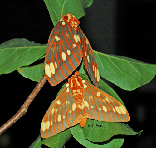 Royal Walnut Moths