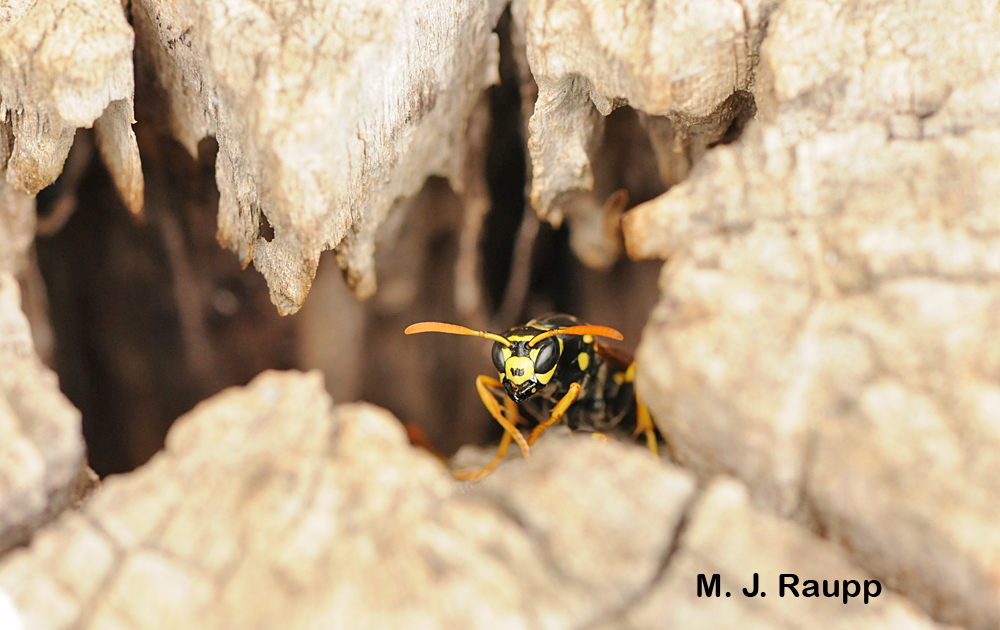 A European paper wasp guard keeps a watchful eye at the entrance to the nest.