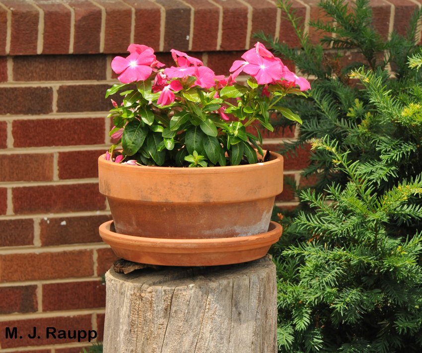 The hollow log beneath this flower pot offered a perfect spot for the nest of one paper wasp queen with a flair for the unusual.