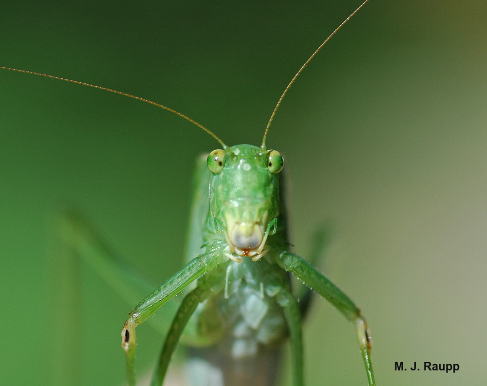 "Small dark openings on the front legs of this little beauty are the ""ears"" of the katydid."