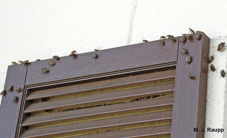 Shutters are a potential refuge for stink bugs