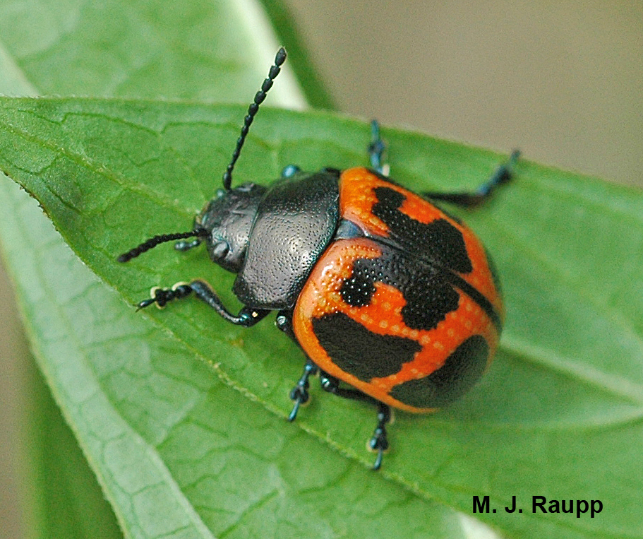 After a hearty meal of milkweed leaves, this milkweed leaf beetle is ready to lay some eggs.