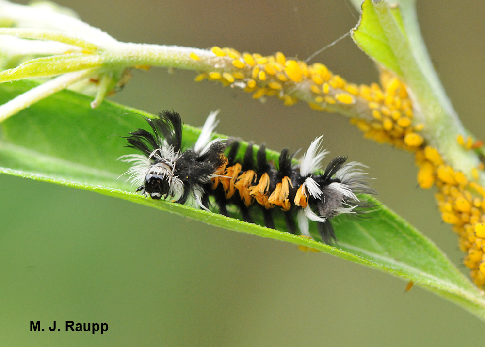 Caterpillars of the milkweed tiger moth resemble furry dust mops as they wander about the plant.