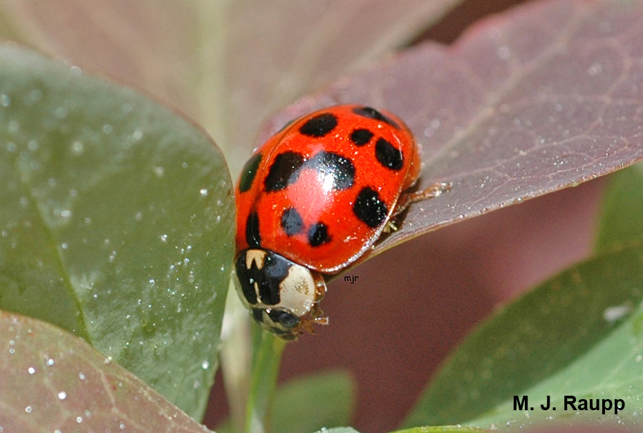 Multicolored Asian Lady Beetles are sometimes bright red.