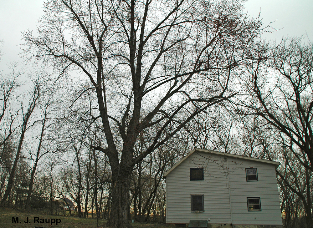 Maples, boxelders, and ashes surrounding this house produced a fine crop of seeds to feed thousands of boxelder bugs.