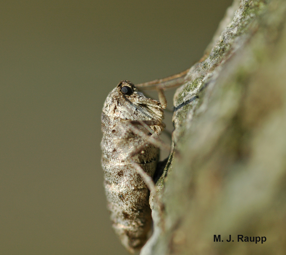 The bizarre female fall cankerworm lacks functional wings and mouthparts and does fly or eat.