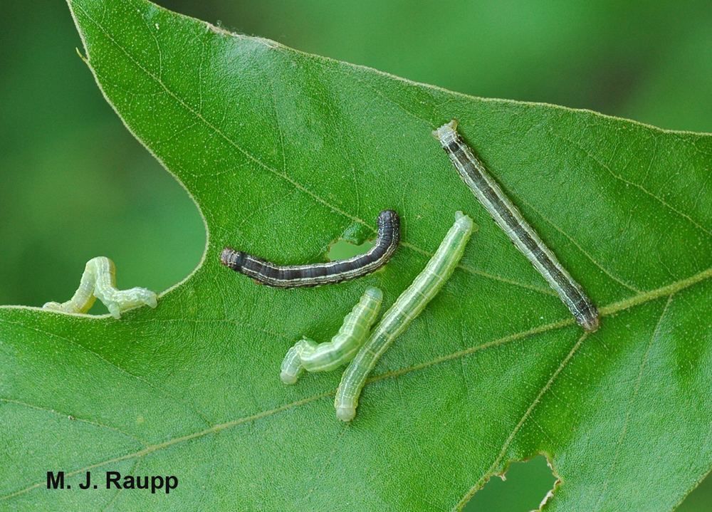 Fall cankerworm caterpillars come in two color morphs, light green and dark brown.