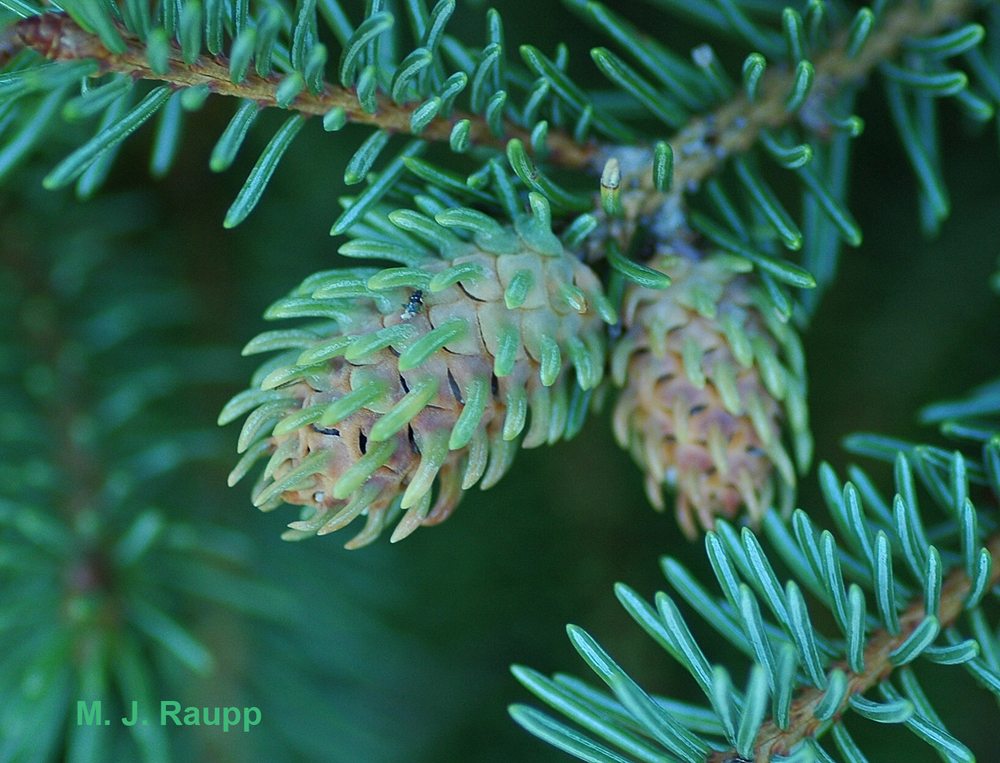 Cooley spruce gall adelgids enslave the genetic machinery of the spruce tree, causing it to form an abnormal, pineapple-shaped home for the insect, called a gall.