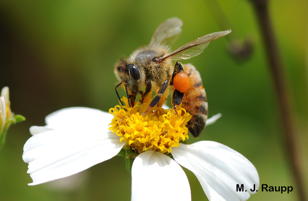 The honey bee is one of the most important pollinators we have, responsible for about one out of every 3 bites of food we eat.