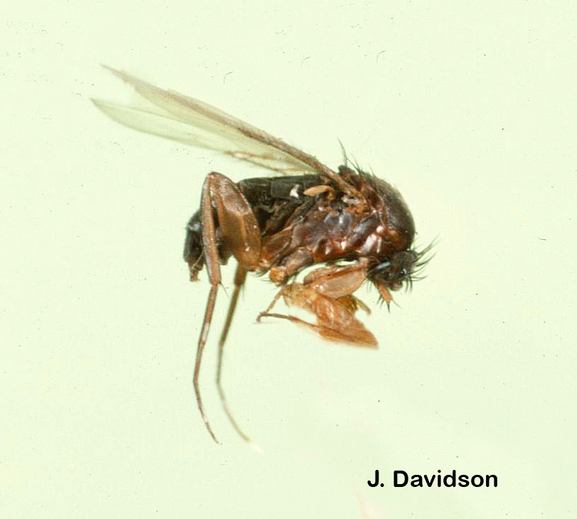 Phorid flies like this one share the humpbacked appearance found in Apocephalus.