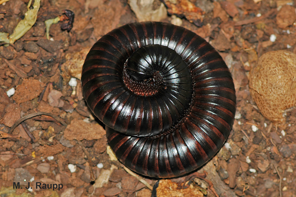 Curling into a tight ball is one line of defense of the giant millipede.
