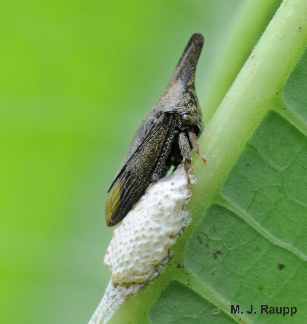 This thorn-like treehopper guards her eggs after laying them in a froth-covered mass.
