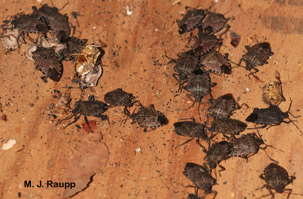 Mortality of stink bugs was high in my brother's unheated garage.
