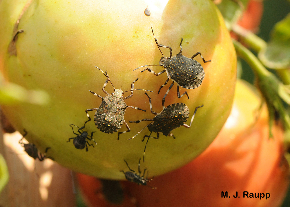 Brown marmorated stink bug nymphs suck the juices from an unfortunate gardener's tomato.