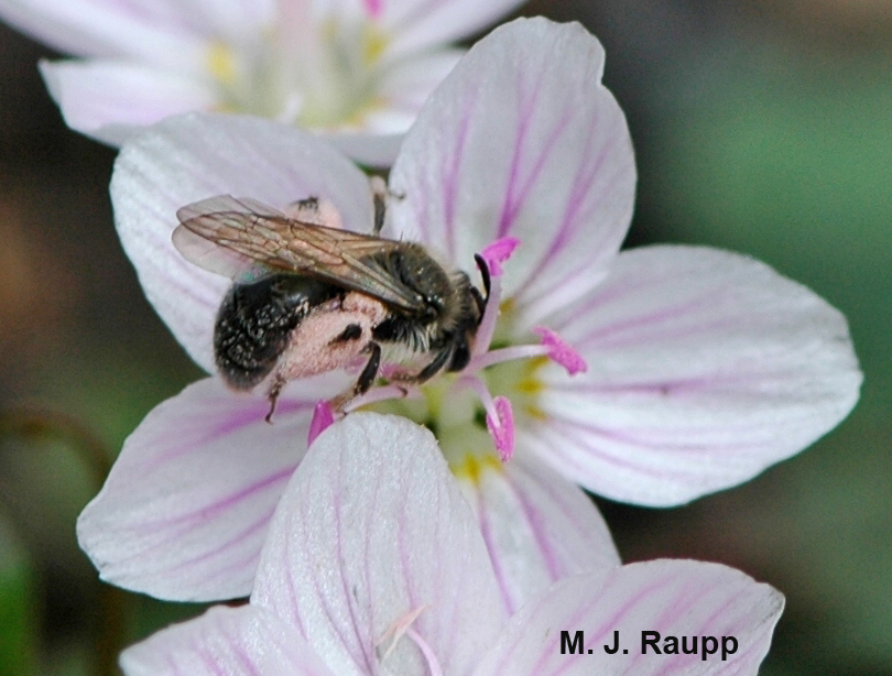 In April, solitary bees like this one and the wildflowers they pollinate really are spring beauties.