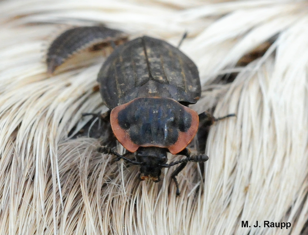 A carrion beetle continues its important work of recycling dead things.