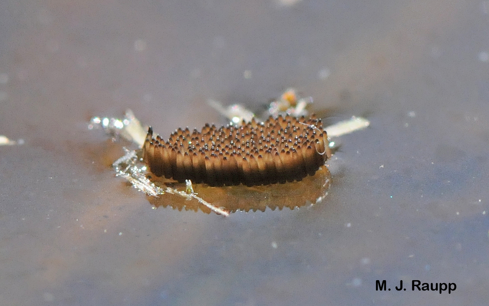 Hundreds of larvae will hatch from mosquito egg rafts floating on the surface of the water.
