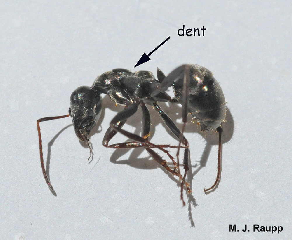 Field ants are differentiated from carpenter ants by a distinct dent in the center of their thorax.