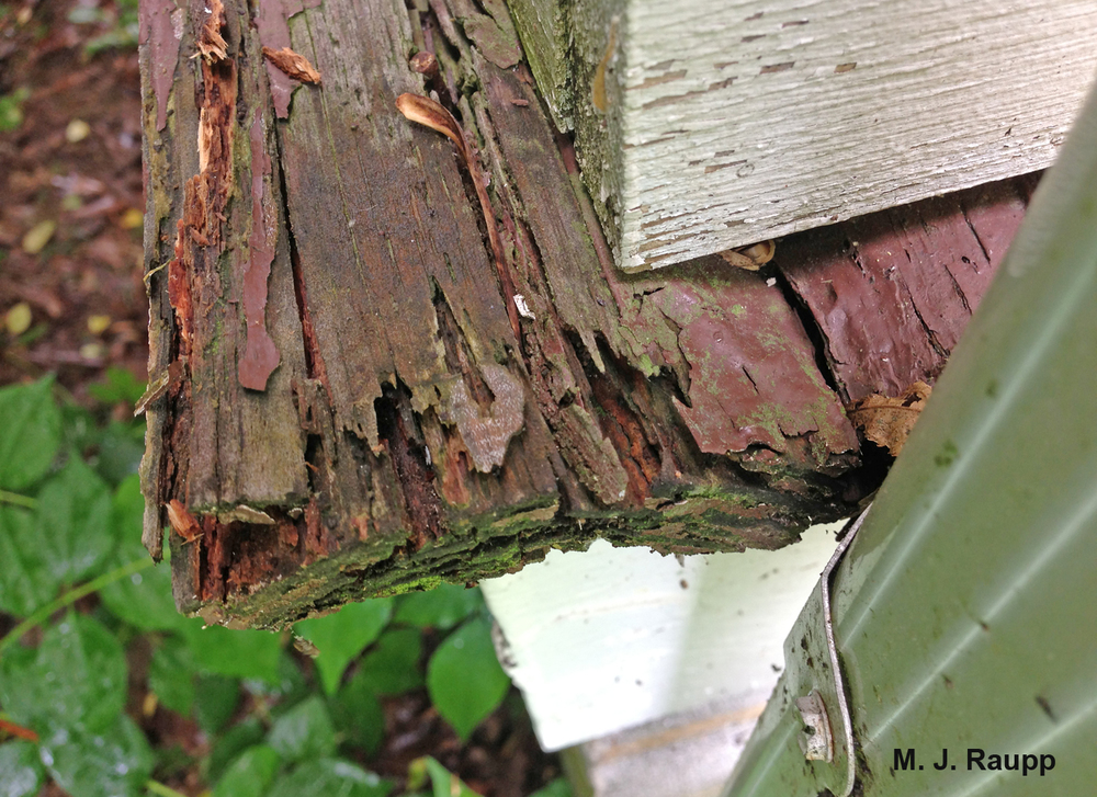 Unpainted wet wood may allow carpenter ants to gain entry into a home.