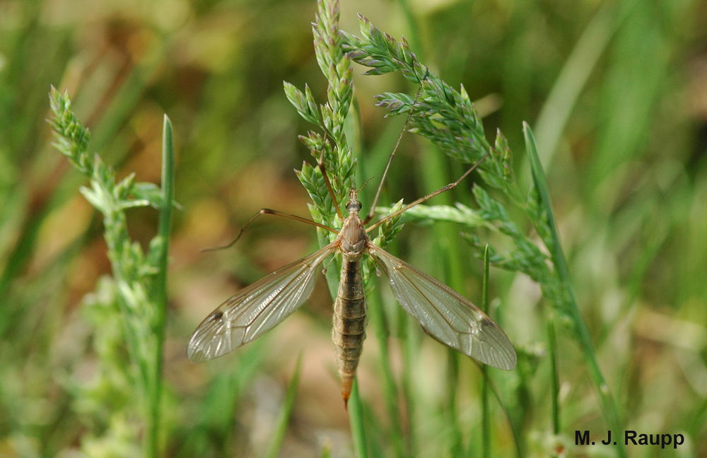 Crane flies often rest in grass or on vegetation.