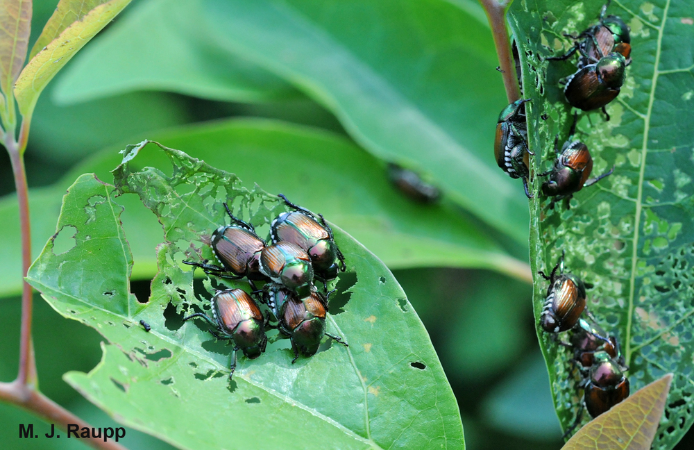 A horde of Japanese beetles can put a beating on trees, shrubs, and herbaceous plants.