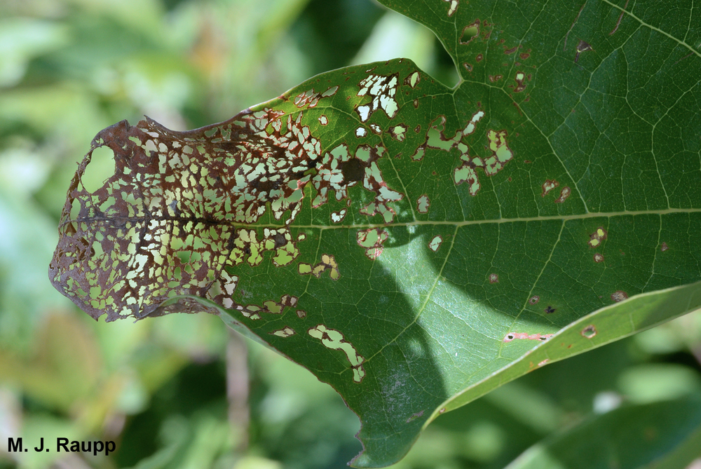 Japanese beetles remove tissue between veins causing skeletonization.